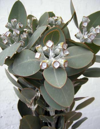 Eucalyptus-tetragona