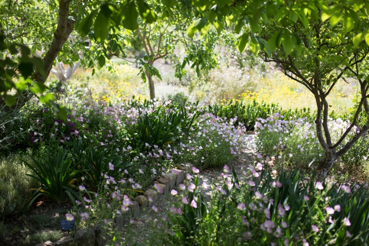 The wondrous kitchen garden of Case Vecchia, full of fragrant herbs and flowers with beautiful fig trees ... a dream to sit it and wander through.